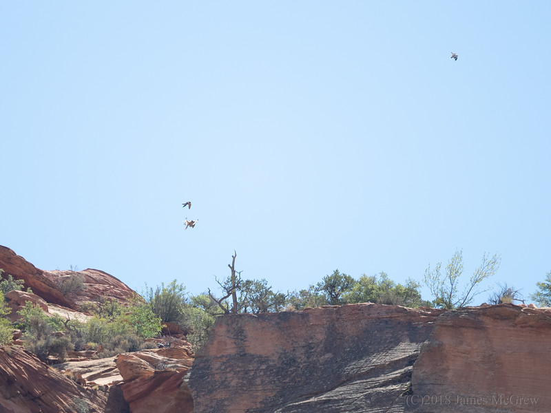 A Pair of Adult Peregrine Falcons Attack a Red Tailed Hawk in Defending Their Territory Above the Zion Mt. Carmel Tunnel.