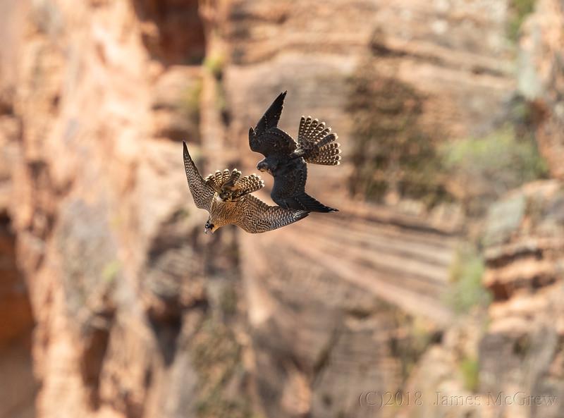 Juvenile Peregrine Falcons, food dispute.