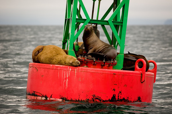 Sea lions along the Alaskan Marine Highway