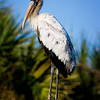 Wood Stork along Biolab Road which runs through portions of Merritt Island National Wildlife Refuge and Canaveral National Seashore