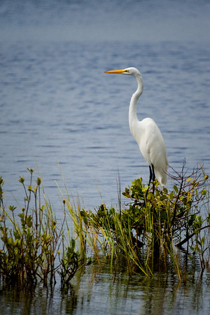 Great Egret on Shiloh Marsh Road in Merritt Island National Wildlife Refuge