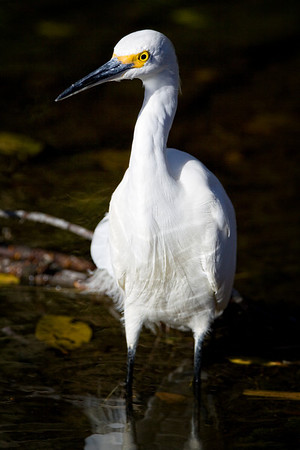 Snowy Egret, Merritt Island National Wildlife Refuge, Cape Canaveral, Florida