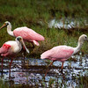Roseate Spoonbills along Shiloh Marsh Road which runs through a portion of Merritt Island National Wildlife Refuge