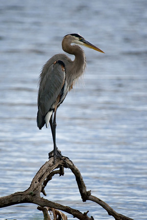 Great Blue Heron along L Loop Drive which runs through a portion of Merritt Island National Wildlife Refuge