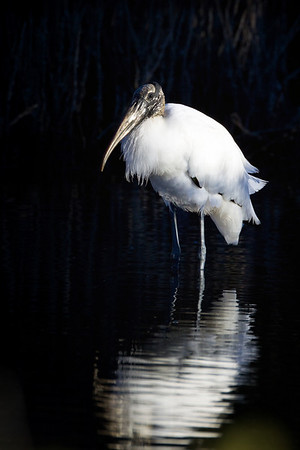 Wood Stork, Merritt Island National Wildlife Refuge, Cape Canaveral, Florida