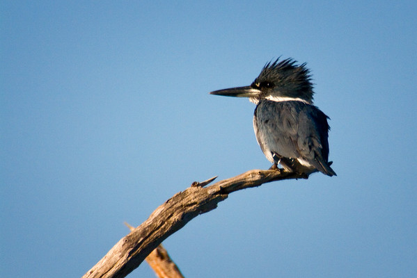 Belted Kingfisher along Biolab Road which runs through portions of Merritt Island National Wildlife Refuge and Canaveral National Seashore
