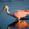 Roseate Spoonbill along Black Point Wildlife Drive which runs through a portion of Merritt Island National Wildlife Refuge