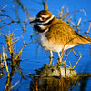 Killdeer, Merritt Island National Wildlife Refuge, Cape Canaveral, Florida