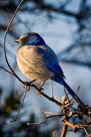 Scrub Jay, Merritt Island National Wildlife Refuge, Cape Canaveral, Florida