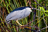 Black Crown Night Heron on the Anhinga Trail, Royal Palm, Everglades National Park, Florida