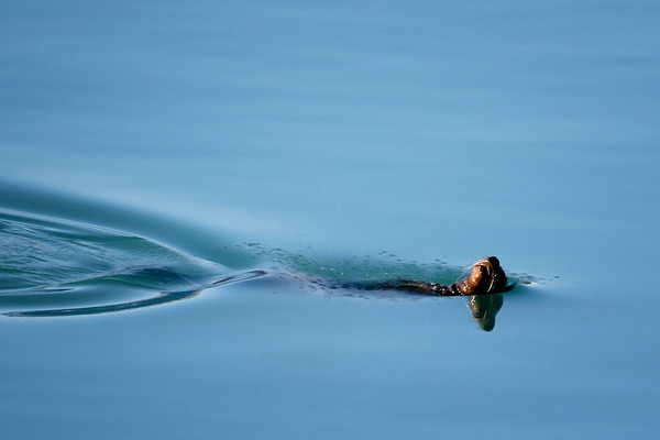 An Otter doing the backstoke in Glacier Bay National Park, Alaska