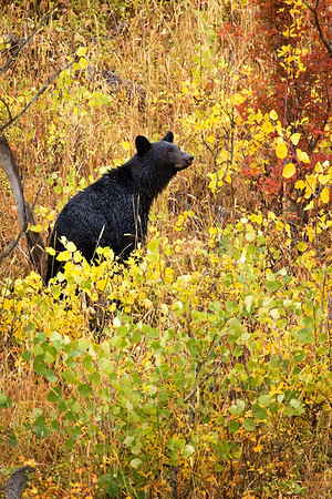 Black bear in Glacier National Park, Montana