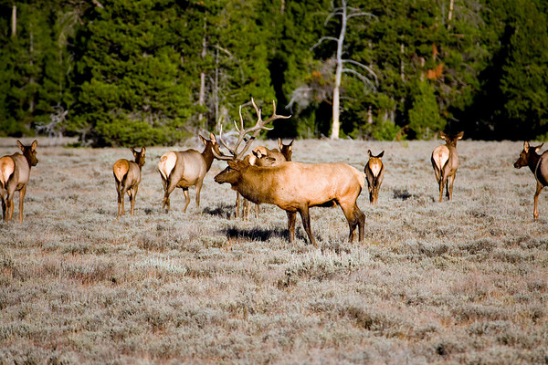 Bull elk and his harem in Grand Teton National Park, Wyoming