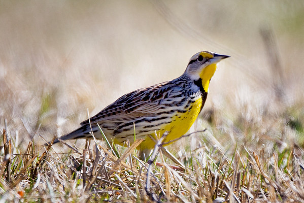 Meadowlark in Cades Cove, Great Smoky Mountains National Park, Tennessee