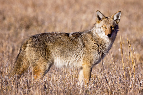 Coyote in Cades Cove, Great Smoky Mountains National Park, Tennessee