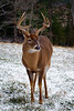 8-point buck in Cades Cove, Great Smoky Mountains NP