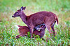 Nursing fawn in Cades Cove, Great Smoky Mountains National Park, Tennessee