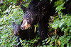 Black bear and cub in Cades Cove, Great Smoky Mountains National Park