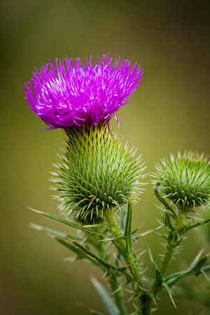 Bull thistle in a meadow in Cades Cove, Great Smoky Mountains National Park