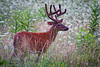 Whitetail buck still in velvet in Cades Cove, Great Smoky Mountains National Park