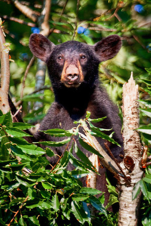 Yearling black bear in a wild cherry tree in Cades Cove, Great Smoky Mountains National Park
