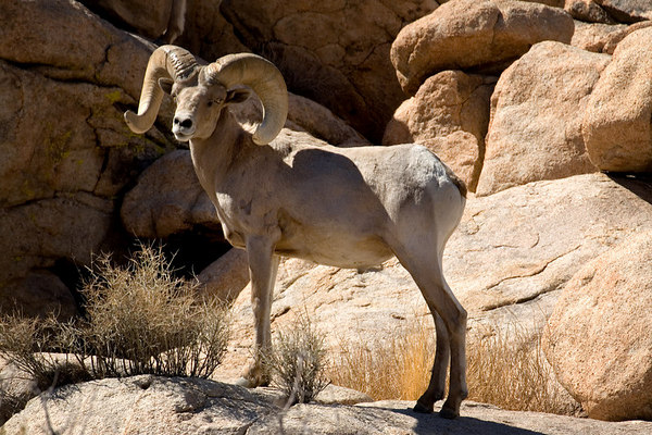 Bighorn Sheep on the Desert Queen Ranch in Joshua Tree National Park, California