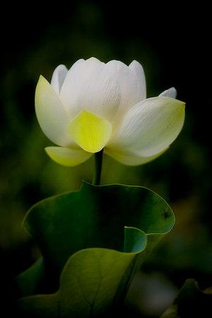 Lotus flower at Magnolia Gardens, Charleston, South Carolina