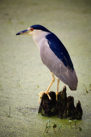 Night heron at Magnolia Gardens, Charleston, South Carolina