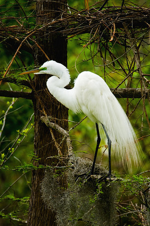 Great Egret male in the Audubon Swamp Garden in Magnolia Gardens, Charleston, South Carolina