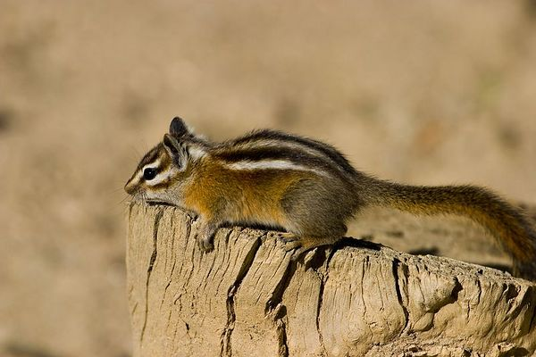 Chipmunk - taking a rest in Rocky Mountain National Park, Colorado