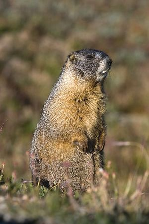 Yellow-bellied Marmot in Rocky Mountain National Park, Colorado