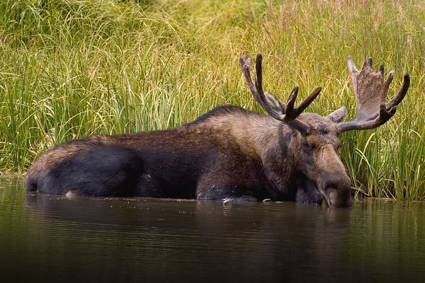Bull Moose in the headwaters of the Colorado River, Rocky Mountain National Park, Colorado