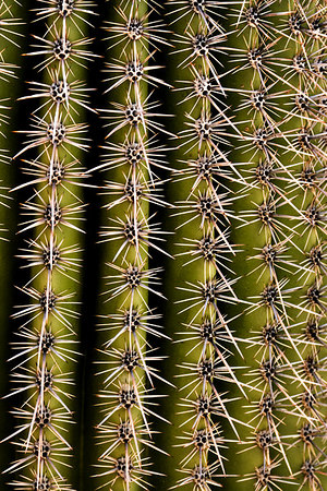 Close-up of a Saguaro Cactus in Saguaro National Park near Tucson, Arizona