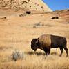 Bison at Theodore Roosevelt National Park, North Dakota
