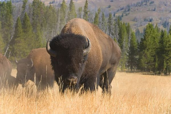 Buffalo - Yellowstone National Park, Wyoming