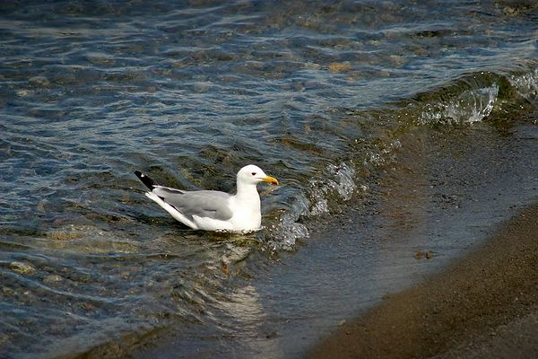 Gull on the edge of Yellowstone Lake
