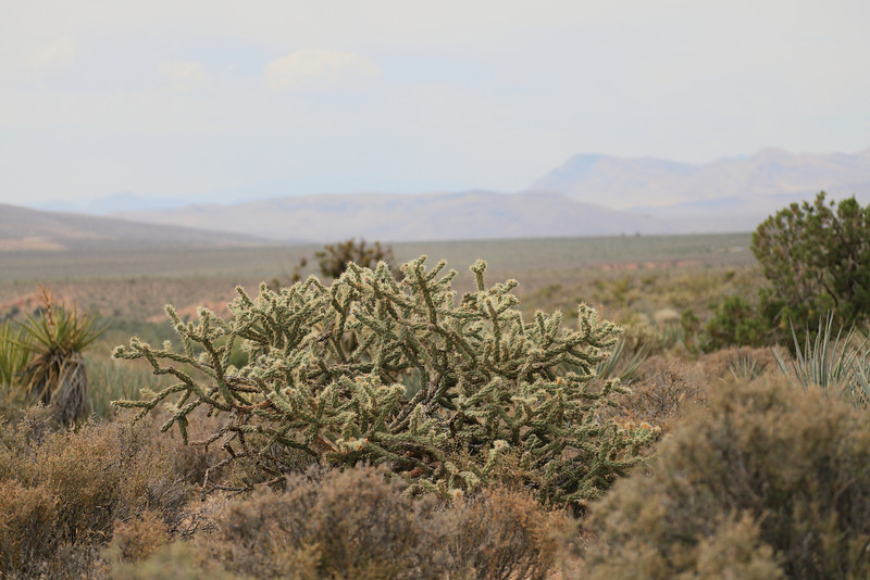 Cacti In Red Rock Canyon