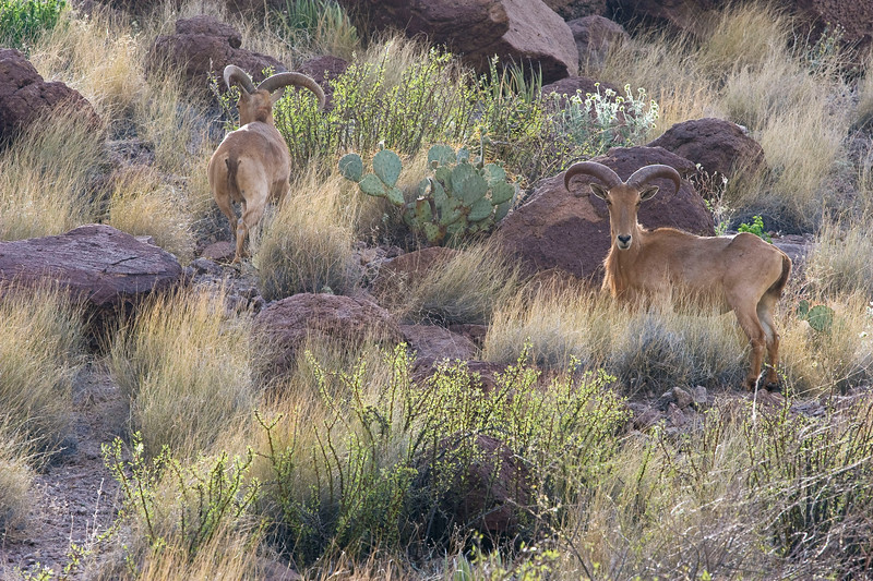 Bighorn sheep in Big Bend Ranch State Park