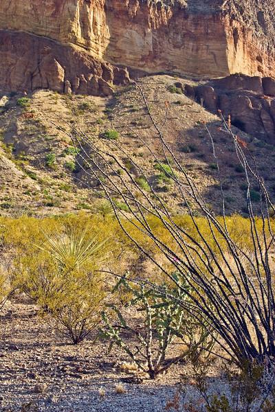 Ocotillo and chollo cactus at Burro Mesa, Big Bend National Park.