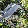 Black-crowned Heron