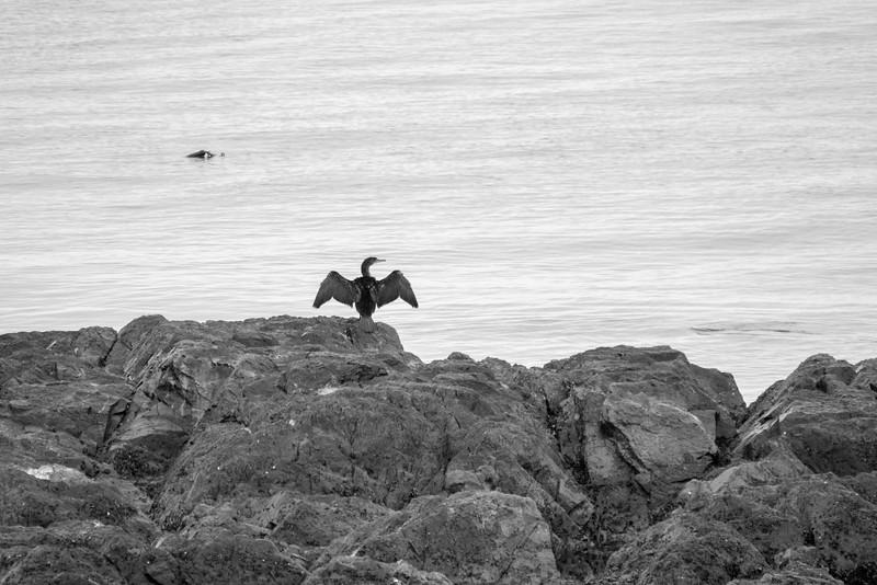 Salish Sea Cormorant