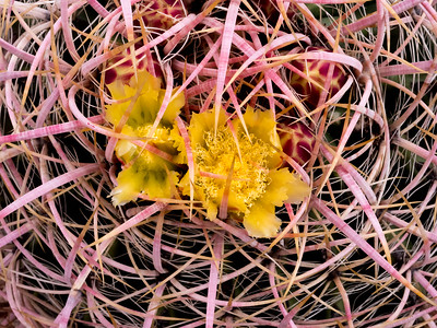California Barrel Cactus