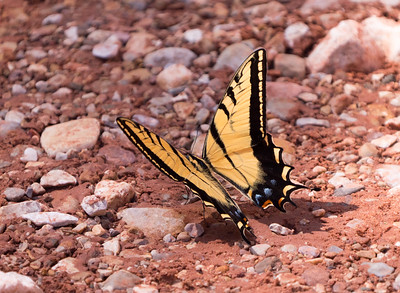Two-tailed Swallow tail Butterfly