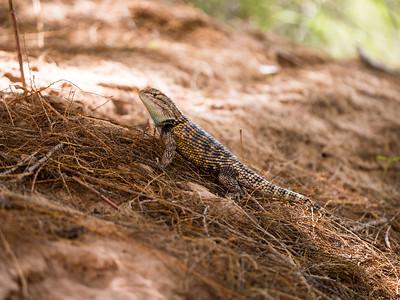 Desert Spiny Lizard Male
