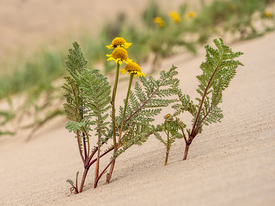 Dune Tansy