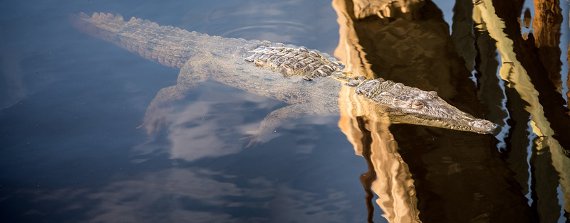 250 Million years in the making - in a while crocodile