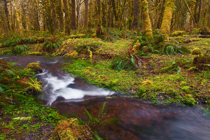 Stream through the Quinault Forest, Olympic National Park