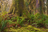 Quinault Rain Forest, Olympic National Park, Washington