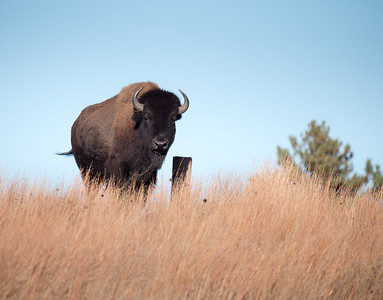 Bison ska THe American Buffalo