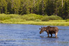 Bull Moose in the Henry's Fork of the Snake River, Idaho